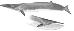 Fin whale characteristics