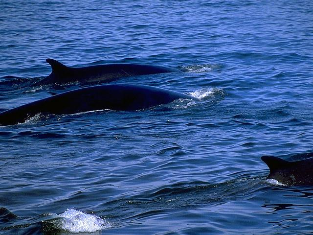fin whales the characteristic arches of the fin whale s balaenoptera ...