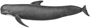 Pilot whale characteristics