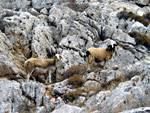Sheep on Folegandros