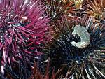 Sea-urchins are a delicacy in Greece